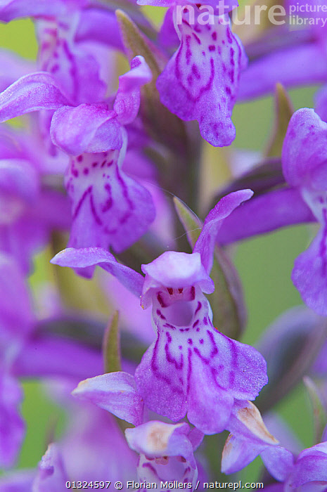 Close up of Western / Irish Marsh orchid flower (Dactylorhiza majalis) Germany, May  ,  BLUE,CLOSE UPS,EUROPE,FLOWERS,GERMANY,MONOCOTYLEDONS,ORCHIDACEAE,ORCHIDS,PLANTS,PURPLE,VERTICAL  ,  Florian Möllers