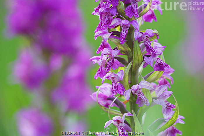 Close up of Western / Irish Marsh orchid (Dactylorhiza majalis) Germany, May  ,  EUROPE,FLOWERS,GERMANY,MONOCOTYLEDONS,ORCHIDACEAE,ORCHIDS,PLANTS,PURPLE,SELECTIVE FOCUS  ,  Florian Möllers