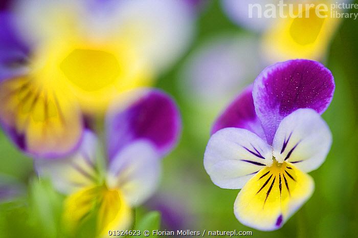 Heartsease / Wild pansy (Viola tricolor), flowers, Berlin, Germany, May  ,  ARTY SHOTS,BLURRED,EUROPE,FLOWERS,GERMANY,PURPLE,SELECTIVE FOCUS,YELLOW  ,  Florian Möllers