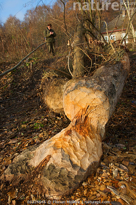 Elm tree cut down by Eurasian beaver (Castor fiber albicus) on river bank of the Havel, Berlin, Germany, October 2007  ,  BEAVERS,DAMAGE,EUROPE,GERMANY,MAMMALS,RIVERS,RODENTS,TREES,TRUNKS,URBAN,VERTEBRATES,VERTICAL,Plants  ,  Florian Möllers