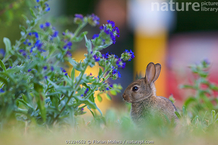Young European rabbit (Oryctolagus cuniculus) near busy road, Haselhorst, Berlin, Germany, June 2008  ,  EUROPE,FLOWERS,GERMANY,LAGOMORPHS,MAMMALS,PLANTS,RABBITS,TRAFFIC,URBAN,VEHICLES,VERTEBRATES  ,  Florian Möllers