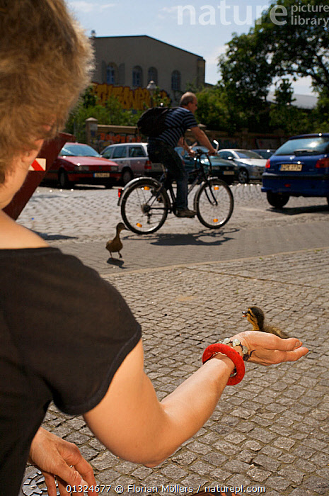 Woman rescues the duckling of a Mallard (Anas platyrhynchos) nesting in window box of a 4th floor flat, female duck watching, Berlin, Germany, June  ,  BICYCLES,BIRDS,CITIES,CONSERVATION,DUCK,DUCKS,EUROPE,GERMANY,PEOPLE,ROADS,URBAN,VERTEBRATES,VERTICAL,WATERFOWL,WOMAN  ,  Florian Möllers
