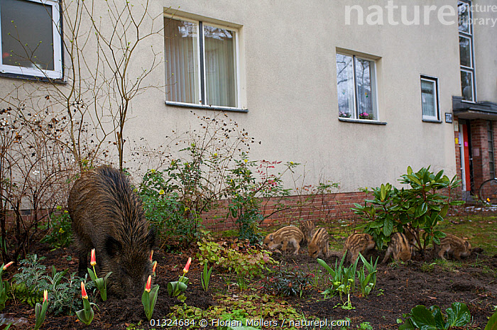 Wild boar (Sus scrofa) sow and seven piglets foraging in city garden, Berlin, Germany, March  ,  ARTIODACTYLA,BABIES,BUILDINGS,CITIES,EUROPE,FAMILIES,FLOWERS,GARDENS,GERMANY,GROUPS,MAMMALS,MOTHER BABY,PIGS,SUIDAE,URBAN,VERTEBRATES  ,  Florian Möllers