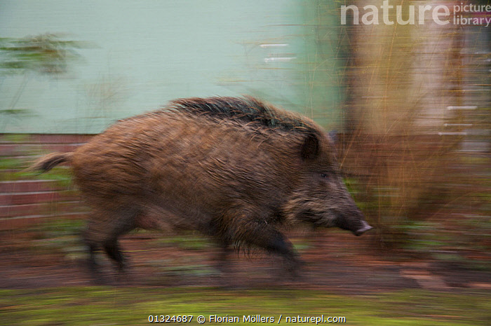 Wild boar (Sus scrofa) young sow running past house in city garden, Berlin, Germany, March  ,  ARTIODACTYLA,BEHAVIOUR,BLURRED,CITIES,EUROPE,FEMALES,GERMANY,MAMMALS,PIGS,RUNNING,SPEED,SUIDAE,URBAN,VERTEBRATES  ,  Florian Möllers