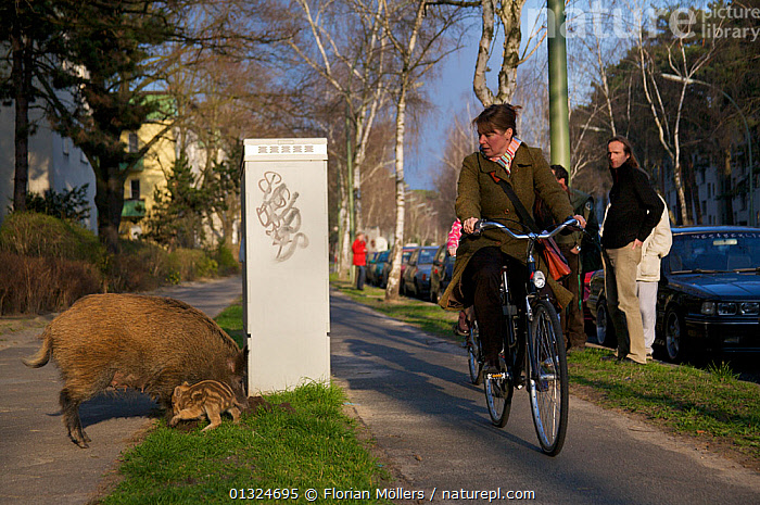 Pedestrian and cyclist observe Wild boars (Sus scrofa) on the curb of Argentinische Allee, Berlin, Germany, March 2007  ,  ARTIODACTYLA,BABIES,CITIES,CYCLING,EUROPE,FAMILIES,GERMANY,MAMMALS,OUTDOORS,PEOPLE,PIGS,ROADS,SUIDAE,URBAN,VEHICLES,VERTEBRATES  ,  Florian Möllers