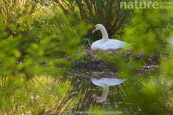 Mute swan (Cygnus olor) nesting on the shore of a channel in Schlosspark Charlottenburg, Berlin, Germany, May  ,  BIRDS,CITIES,EUROPE,GERMANY,GRACEFUL,LAKES,NESTS,PARKLAND,REFLECTIONS,SWANS,URBAN,VERTEBRATES,WATER,WATERFOWL,Wildfowl  ,  Florian Möllers