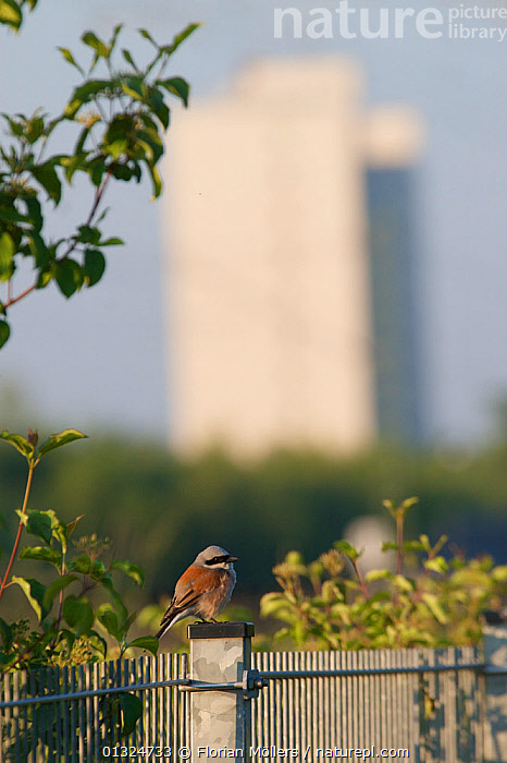Red-backed shrike (Lanius collurio) perched on fence at the nature park Schoeneberger Suedgelaende, Berlin, Germany, June 2007  ,  BIRDS,CITIES,EUROPE,GERMANY,RESERVE,SHRIKES,URBAN,VERTEBRATES,VERTICAL  ,  Florian Möllers