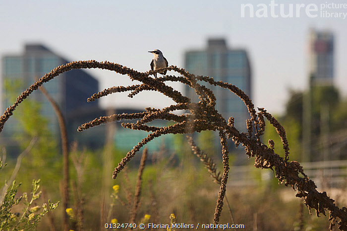 Wheatear (Oenanthe oenanthe) male perched in urban wasteland at Berlin Central Station, Germany, June 2008  ,  alert,Berlin,Berlin Central Station,BIRDS,building exterior,BUILDINGS,catalogue3,CITIES,city,close up,CLOSE UPS,curiosity,differential focus,EUROPE,focus on foreground,GERMANY,LANDSCAPES,male animal,MALES,nature,Nobody,one animal,outdoors,Perching,selective focus,songbirds,Turdidae,URBAN,VERTEBRATES,wasteland,WHEATEARS,WILDLIFE  ,  Florian Möllers