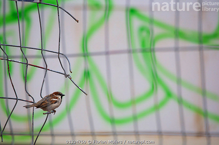 "House sparrow (Passer domesticus) perched on the fence of a construction site at the ""Tacheles"", Berlin, Germany, June  ,  BIRDS,CITIES,EUROPE,GERMANY,GRAFFITI,PASSERIDAE,SONGBIRDS,SPARROWS,URBAN,VERTEBRATES  ,  Florian Möllers"
