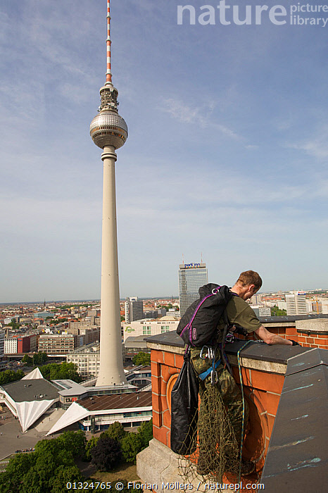 Andre Laubner abseiling from the tower of Rotes Rathaus in order to ring Peregrine falcons (Falco peregrinus) in their nest, Alexanderplatz, Berlin, Germany, May 2008  ,  BIRDS,BIRDS OF PREY,BUILDINGS,CITIES,EUROPE,FALCONS,GERMANY,MAN,NESTS,OUTDOORS,PEOPLE,RESEARCH,URBAN,VERTEBRATES,VERTICAL  ,  Florian Möllers