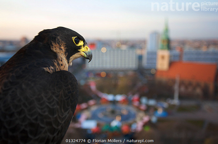 Peregrine falcon (Falco peregrinus) captive, female, perched above Alexanderplatz, Berlin, Germany, November  ,  alert,Alexanderplatz,Berlin,BIRDS,BIRDS OF PREY,BUILDINGS,captive,catalogue3,CITIES,city,close up,CLOSE UPS,CONCENTRATION,differential focus,EUROPE,FALCONS,female animal,FEMALES,focus on foreground,GERMANY,INTELLIGENCE,LANDSCAPES,Nobody,one animal,outdoors,Perching,PORTRAITS,PROFILE,selective focus,URBAN,VERTEBRATES,watchful,WILDLIFE,wisdom,wise  ,  Florian Möllers
