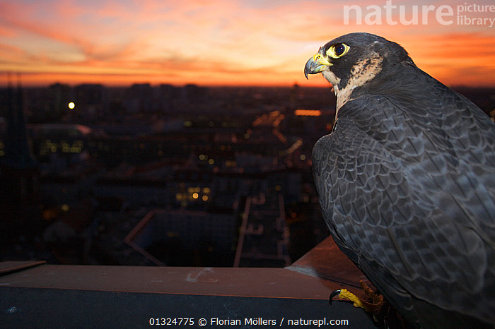 Peregrine falcon (Falco peregrinus) captive, female, perched at sunset with view over Berlin, Germany, November.  ,  alert,Berlin,BIRDS,BIRDS OF PREY,captive,catalogue3,CITIES,city,cityscape,close up,CLOSE UPS,contemplation,differential focus,DUSK,EUROPE,Evening,FALCONS,female,female animal,FEMALES,focus on foreground,GERMANY,horizon,horizon over land,negative space,Nobody,one animal,outdoors,Perching,plumage,PORTRAITS,rear view,selective focus,SKY,SUNSET,twilight,URBAN,VERTEBRATES,watchful,WILDLIFE  ,  Florian Möllers