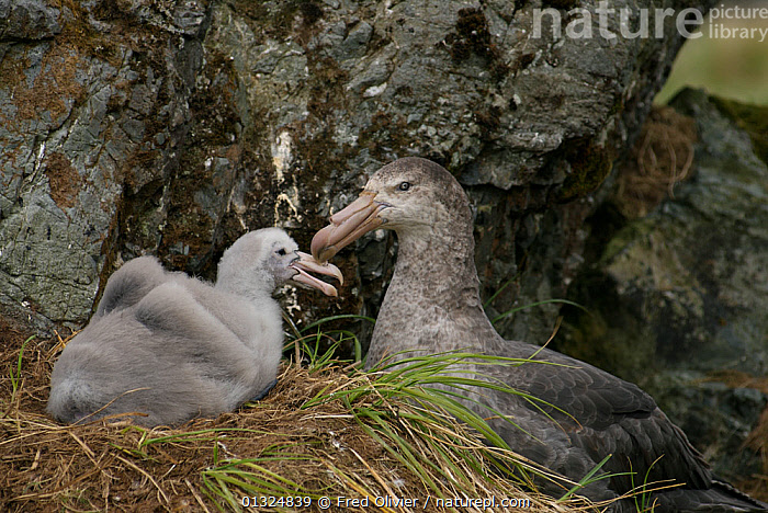 Giant Petrel (Macronectes giganteus) at nest with chick, Macquarie Island, Southern Atlantic, Australian Antarctica, November  ,  ANTARCTICA,BIRDS,CHICKS,FAMILIES,MACCA,MOTHER BABY,NESTS,PETRELS,PROCELLARIIDAE,SEABIRDS,SUB ANTARCTIC ISLANDS,VERTEBRATES  ,  Fred Olivier