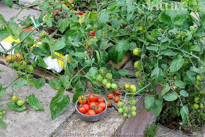 Patio Tomatoes (Solanum lycopersicum) in growbags, 'Sweet Olive', Norfolk, UK, August  ,  DICOTYLEDONS,EDIBLE,ENGLAND,GARDENS,HARVESTING,HOME,PLANTS,RIPE,SMALL,SOLANACEAE,SPACE,SUMMER,UK,VEGETABLES,Europe,United Kingdom  ,  Gary K. Smith