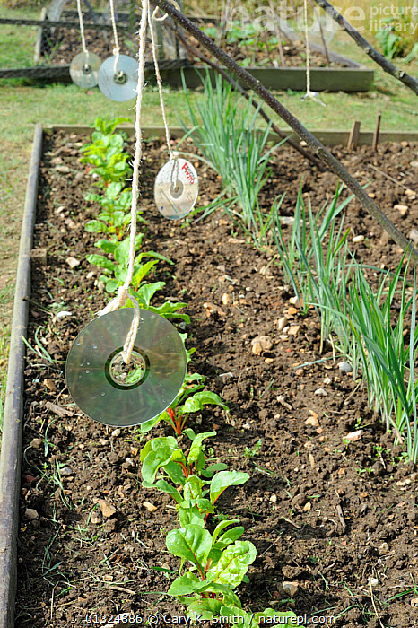 Pest protection, Using CD's to scare off birds from Swiss Chard, Norfolk, UK, July  ,  ALLOTMENTS,BIRDS,CHENOPODIACEAE,CONTROL,CROPS,DICOTYLEDONS,ENGLAND,GARDENS,GROWING,PEST,PLANTS,UK,VEGETABLES,VERTICAL,Europe,United Kingdom  ,  Gary K. Smith