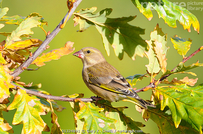 Greenfinch (Carduelis chloris) female perched on Oak branch, Norfolk, UK, November  ,  BIRDS,ENGLAND,FINCHES,GARDENS,LEAVES,QUERCUS SP.,SONGBIRDS,UK,VERTEBRATES,Europe,United Kingdom  ,  Gary K. Smith