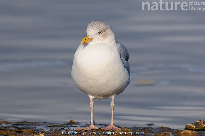 Herring Gull (Larus argentatus) juvenile, standing on shoreline, Norfolk, UK, November  ,  BIRDS,COASTS,ENGLAND,GULLS,JUVENILE,SEABIRDS,SEAGULLS,UK,VERTEBRATES,WINTER,Europe,United Kingdom  ,  Gary K. Smith