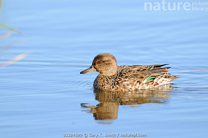 Common teal (Anas crecca) female on water, Norfolk, UK, November  ,  BIRDS,DUCKS,ENGLAND,FEMALES,REFLECTIONS,UK,VERTEBRATES,WATER,WATERFOWL,WINTER,Europe,United Kingdom  ,  Gary K. Smith