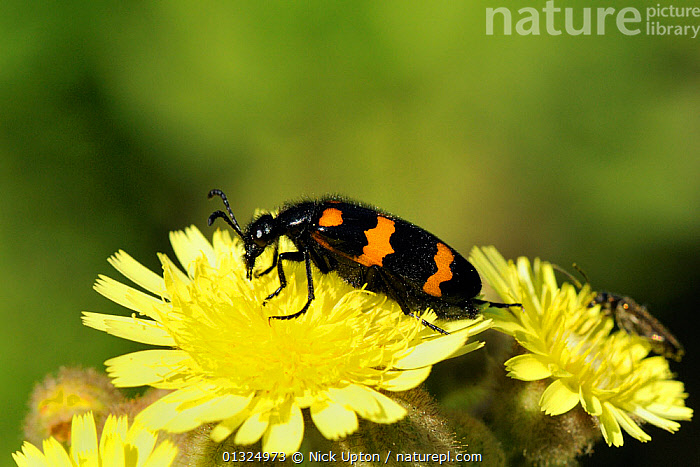 A very toxic Blister beetle (Mylabris variabilis) with warning colouration, feeding on Hawkweed (Hieracium sp) flower, Port Cros Island National Park, Hyeres archipelago, France, May.  ,  ASTERACEAE, BEETLES, BLACK, BLISTER, BLISTER-BEETLES, COLEOPTERA, COLOURFUL, EUROPE, FEEDING, FLOWERS, FORAGING, FRANCE, INSECTS, INVERTEBRATES, MEDITERRANEAN, ORANGE, POISONOUS, RESERVE, STRIPED  ,  Nick Upton