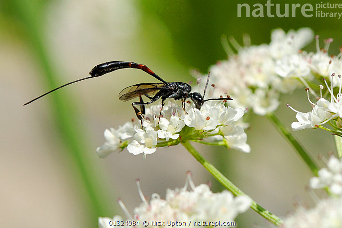 Female Gasteruptiid wasp (Gasteruption sp) with long needle-like ovipositor, a nest parasite of solitary bees and waps, nectar feeding on Wild Angelica (Angelica sylvestris) umbel flowers. Corsica, France, June.  ,  APIACEAE,EUROPE,FEEDING,FLOWERS,FORAGING,FRANCE,GASTERUPTIIDAE,GASTERUPTIINAE,HYMENOPTERA,INSECTS,INVERTEBRATES,MEDITERRANEAN,OVIPOSITORS,PLANTS,SPIDERS,SUMMER,WASPS,WHITE  ,  Nick Upton