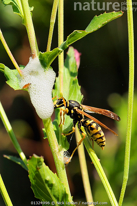 Paper wasp (Polistes dominula) drinking moisture from cuckoo spit around developing froghopper (Cercopidae) nymph, Port Cros Island National Park, Hyeres archipelago, France, May.  ,  DRINKING,EUROPE,FRANCE,HYMENOPTERA,INSECTS,INVERTEBRATES,MEDITERRANEAN,NP,PAPER WASPS,PROFILE,RESERVE,VERTICAL,VESPIDAE,WASPS,YELLOW,National Park  ,  Nick Upton