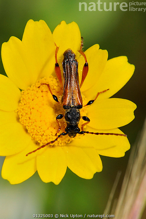Longhorn beetle (Stenopterus rufus) foraging on Crown daisy (Chrysanthemum coronarium), Corsica, France, May.  ,  ASTERACEAE,BEETLES,CERAMBYCIDAE,COLEOPTERA,DAISIES,EUROPE,FLOWERS,FRANCE,INSECTS,INVERTEBRATES,LONGHORN,LONGHORN BEETLES,LONG HORNED,MEDITERRANEAN,PLANTS,VERTICAL,YELLOW  ,  Nick Upton