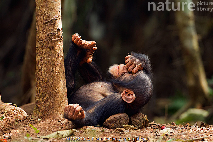 Western chimpanzee (Pan troglodytes verus) infant male 'Flanle' aged 3 years playing on ground, Bossou Forest, Mont Nimba, Guinea. January 2011.  ,  AFRICA,BABIES,Bossou,chimp,Chimps,CUTE,ENDANGERED,FORESTS,GREAT-APES,ground,guinea,hominidae,JUVENILE,MALES,MAMMALS,play,playful,playing,PRIMATES,rolling,TROPICAL,TROPICAL-RAINFOREST,tropics,VERTEBRATES,WEST-AFRICA,YOUNG high1314,PAN TROGLODYTES VERUS,Animal,Vertebrate,Mammal,Ape,Chimpanzee,West African Chimpanzee,Animalia,Animal,Wildlife,Vertebrate,Mammalia,Mammal,Primate,Primates,Hominidae,Ape,Greater apes,Hominoidea,Pan,Pan troglodytes,Chimpanzee,Common Chimpanzee,Robust Chimpanzee,Feet Up,Lying down,Lying On Back,Disbelief,Humorous,Nobody,Close Up,Young Animal,Juvenile,Babies,Male Animal,Plant,Tree Trunk,Grounds,Ground,Outdoors,Open Air,Outside,Day,Animal Behaviour,Playing,Forest,Behaviour,Play,Playful,West African Chimpanzee,Hand over Face,Facepalm,Mont Nimba,Bossou Forest,Endangered species,Endangered,Threatened,,Great apes,  ,  Fiona Rogers