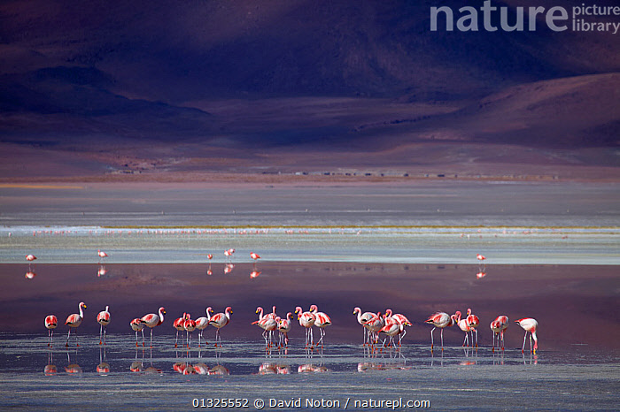 James' flamingos (Phoenicoparrus jamesi) on Lake Colorada in the remote region of high desert, altiplano and volcanoes near Tapaquilcha, Bolivia, December 2009  ,  altiplano,BIRDS,Bolivia,CALM,catalogue3,desert,FLAMINGOS,GROUPS,high altitude,James,Lake,Lake Colorada,LANDSCAPES,large group,large group of animals,muted colour,nature,Nobody,outdoors,Phoenicopteridae,PINK,REFLECTIONS,remote,RESERVE,SALT,SOUTH AMERICA,STANDING,Tapaquilcha,VERTEBRATES,Volcano,WATER,WETLANDS,WILDLIFE  ,  David Noton
