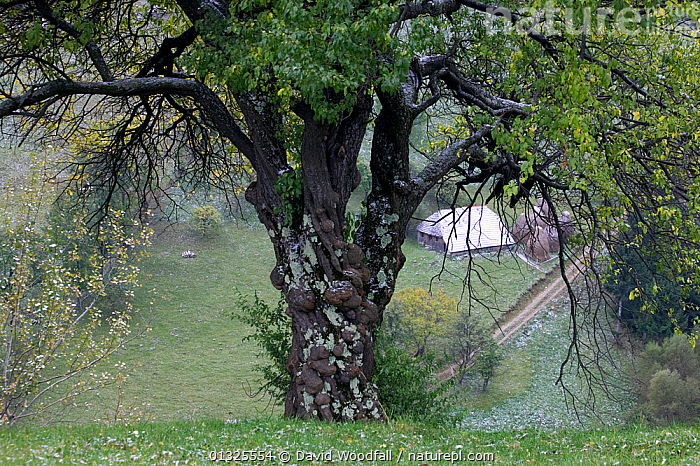 Ancient Plum tree (Prunus domestica) with gnarled bark, with a peasant farm in the background. Romania, October 2010  ,  AGRICULTURE,BARK,DICOTYLEDONS,EUROPE,FARMING,FARMS,PLANTS,ROSACEAE,TRADITIONAL,TREES  ,  David Woodfall