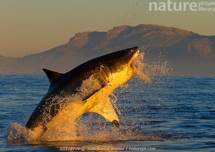 Great white shark (Carcharodon carcharias) leaping out of the water. False Bay, South Africa, July 2010, ACTION,agility,anger,catalogue3,CHONDRICHTHYES,close up,CLOSE UPS,DETERMINATION,False Bay,FISH,JUMPING,LEAPING,MARINE,marine life,mid air,Nobody,OCEANS,one animal,PREDATION,sea,SEALIFE,SHARKS,side view,South africa,SOUTH AFRICA,SOUTHERN AFRICA,VERTEBRATES,view to land,WATER,water spray,CONCEPTS,Behaviour,core collection xtwox, Juan Carlos Munoz