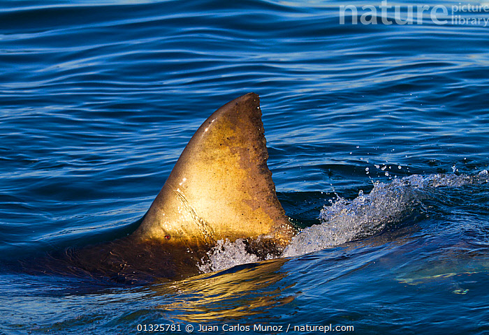 Great white shark (Carcharodon carcharias) with dorsal fin showing above water. False Bay, South Africa, July 2010, CHONDRICHTHYES,DANGER,FINS,FISH,MARINE,OCEANS,SHARKS,SOUTH AFRICA,SOUTHERN AFRICA,SURFACE,VERTEBRATES, Juan Carlos Munoz