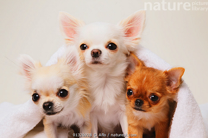 Group portrait of three Chihuahua puppies, sitting on white towels  ,  BABIES,BROWN,COLOUR DIMORPHISM,CUTE,CUTOUT,DOGS,INDOORS,JUVENILE,PETS,PORTRAITS,PUPPIES,SMALL DOGS,STUDIO,TOY DOGS,VERTEBRATES,WHITE,Canids  ,  Aflo
