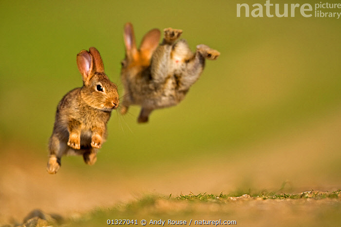 Two European Rabbit (Oryctolagus cuniculus) young playing, leaping in air. UK, August.  ,  ACTION,catalogue3,close up,CLOSE UPS,CUTE,differential focus,EUROPE,face to face,focus on background,fun,imitation,JUMPING,JUVENILE,lagomorphs,LEAPING,MAMMALS,mid air,negative space,Nobody,outdoors,play,playful,playing,RABBITS,selective focus,two,two animals,UK,VERTEBRATES,WILDLIFE,young animal,youthful,Communication,United Kingdom  ,  Andy Rouse