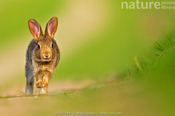European Rabbit (Oryctolagus cuniculus) juvenile walking towards camera. UK, August.  ,  catalogue3,close up,CLOSE UPS,CUTE,destination,DETERMINATION,ears pricked,enthusiasm,EUROPE,facial expression,front view,JUVENILE,lagomorphs,looking at camera,MAMMALS,negative space,Nobody,on the move,one animal,outdoors,RABBITS,RUNNING,SPEED,UK,VERTEBRATES,WALKING,WILDLIFE,young animal,United Kingdom  ,  Andy Rouse