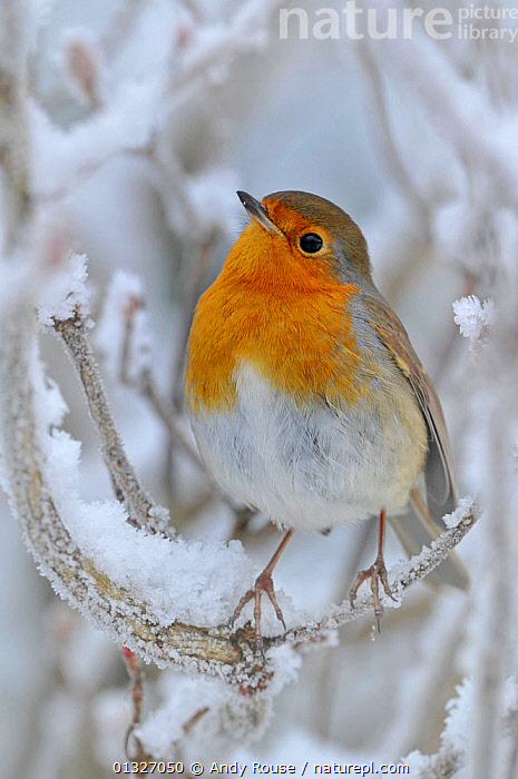 European Robin (Erithacus rubecula) perched on snowy twig. Wales, UK, December., BIRDS,COLD,FROST,SONGBIRDS,TURDIDAE,VERTEBRATES,VERTICAL,WINTER,Weather,Europe,United Kingdom, Andy Rouse