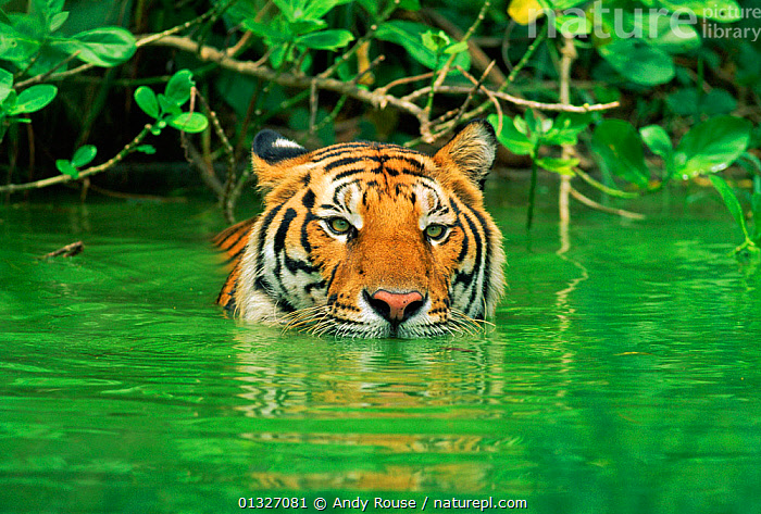 Indo-chinese Tiger (Panthera tigris corbetti) in water. Thailand captive (non-ex)  ,  ASIA,BEHAVIOUR,BIG CATS,CARNIVORES,ENDANGERED,MAMMALS,SWIMMING,THAILAND,TIGERS,WATER  ,  Andy Rouse