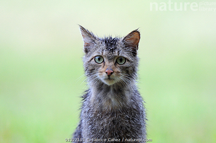 Wild cat (Felis silvestris) portrait, Vosges, France, June  ,  alert,animal head,animal portrait,CARNIVORES,catalogue3,CATS,close up,CLOSE UPS,CUTE,EUROPE,facial expression,felidae,feral,FRANCE,front view,FUR,green background,grey,HEADS,looking at camera,MAMMALS,negative space,Nobody,one animal,outdoors,PORTRAITS,staring,VERTEBRATES,VERTICAL,Vosges,wet,WILDLIFE  ,  Fabrice Cahez