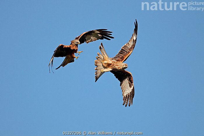 Two Red Kites (Milvus milvus) fighting in flight. Mid-Wales, UK, October 2010.  ,  ACTION,AGGRESSION,BEHAVIOUR,BIRDS,BIRDS OF PREY,blue sky,catalogue3,clear sky,close up,CLOSE UPS,Conflict,EUROPE,FIGHTING,FLYING,KITES,mid air,Nobody,outdoors,rivalry,SKY,two animals,UK,VERTEBRATES,WALES,WILDLIFE,wings spread,wingspan,United Kingdom  ,  Alan Williams