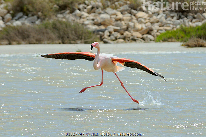 Single Greater flamingo (Phoenicopterus ruber) running on water surface as it lands in a lagoon, The Camargue, France, May.  ,  animal leg,arrival,Balance,BEHAVIOUR,BIRDS,Camargue,catalogue3,close up,CLOSE UPS,clumsy,COASTS,EUROPE,FLAMINGOS,FRANCE,front view,HUMOROUS,humour,lagoon,Lake,LANDING,LEGS,MEDITERRANEAN,Nobody,one animal,outdoors,Phoenicopteridae,PINK,precarious,RUNNING,VERTEBRATES,WATER,water surface,WETLANDS,WILDLIFE,wings spread,Concepts  ,  Nick Upton