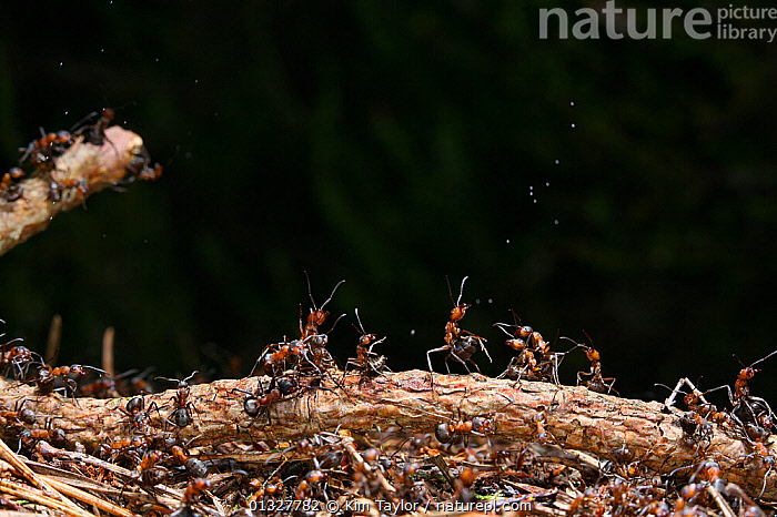 Wood Ant (Formica rufa) workers defending the nest by ejecting droplets of formic acid, UK.  ,  ACTION,animal home,animal nest,ANTS,anxiety,anxious,ARTHROPODS,BEHAVIOUR,branch,catalogue3,close up,CLOSE UPS,defending,DEFENSIVE,EUROPE,formic acid,GROUPS,HYMENOPTERA,INSECTS,INVERTEBRATES,large group,large group of animals,multitude,negative space,Nobody,outdoors,TEAMWORK,UK,unity,water droplet,WILDLIFE,worker ant,WORKING,United Kingdom  ,  Kim Taylor