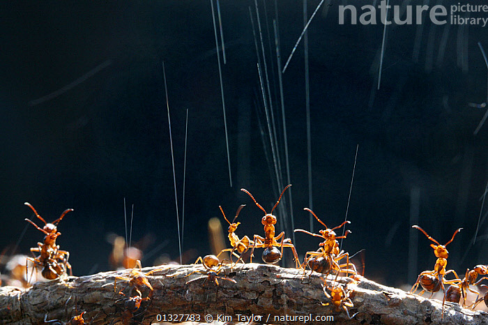 Wood Ant (Formica rufa) workers on top of their nest synchronise ejection of formic acid droplets to maximise deterrent effect on potential predator, UK. Commended in the Audubon Society of Greater Denver  �Share the View� competition 2011  ,  ACTION,animal nest,anthill,ANTS,ARTHROPODS,barricade,BEHAVIOUR,catalogue3,close up,CLOSE UPS,DEFENSIVE,deterrent,Droplet,EUROPE,formic acid,GROUPS,HYMENOPTERA,INSECTS,INVERTEBRATES,medium group,medium group of animals,Nobody,on top of,outdoors,rear legs,STANDING,stretegy,TEAMWORK,UK,WILDLIFE,worker ant,WORKING,United Kingdom  ,  Kim Taylor