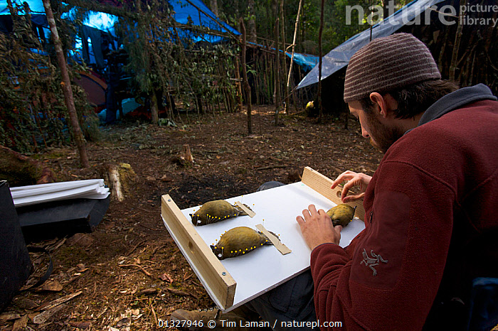 Ornithologist Brett Benz prepares a Huon Macgregor's Gardener Bowerbird (Amblyornis macgregoriae) museum specimen. At the Araurong field camp in the Sarawaget Range Indonesia, Dec 2006  ,  Araurong ,BIRDS,BOWERBIRDS,Brett Benz,camps,catalogue3,dead,examining,field camp,half length,INDONESIA,INTERACTION,MAN,MEN,mid adult,museum specimen,NEW GUINEA,one person,ornithologist,ornithology,outdoors,PEOPLE,precision,Preparing,PTILONORHYNCHIDAE,RESEARCH,Sarawaget Range,SCIENCE,scientific,SITTING,songbirds,taxidermy,VERTEBRATES,Asia  ,  Tim Laman