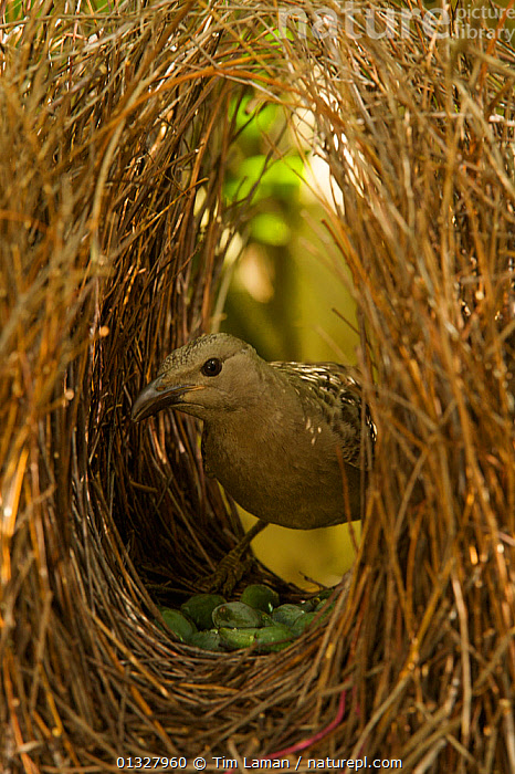 Great Bowerbird (Chlamydera nuchalis) male in his bower. The center of the bower avenue is decorated with green fruits. Located on the campus of James Cook University, Townsville, Queensland, Australia, August 2008  ,  alert,animal building,animal construction,animal home,animal portrait,AUSTRALIA,bird nest,BIRDS,birds nest,bower,BOWERBIRDS,campus,catalogue3,close up,CLOSE UPS,COURTSHIP,front view,houseproud,James Cook University,male animal,MALES,MATING BEHAVIOUR,Nobody,one animal,outdoors,PORTRAITS,queensland,songbirds,STANDING,Townsville,VERTEBRATES,VERTICAL,WILDLIFE  ,  Tim Laman