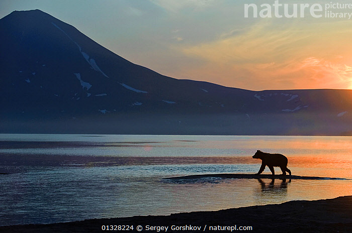 Silhouette of Kamchatka Brown bear (Ursus arctos beringianus) ) beside Lake Kuril at dawn, Kamchatka, Far east Russia, August 2008, ASIA,ATMOSPHERIC,backlit,BEARS,CARNIVORES,catalogue3,DAWN,Daybreak,DUSK,Far East Russia,full length,Kamchatka,Lake,Lake Kuril,LAKES,LANDSCAPES,MAMMALS,Morning,Nobody,on the move,one animal,outdoors,RUSSIA,side view,SILHOUETTES,solitary,SUNRISE,Ursidae,VERTEBRATES,view to land,Volcano,VOLCANOES,WALKING,WATER,waters edge,WILDLIFE,CIS,Geology, Sergey Gorshkov