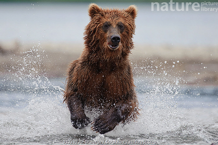 Kamchatka Brown bear (Ursus arctos beringianus)  running through water, fishing, Kamchatka, Far east Russia, August, ACTION,ASIA,BEARS,BEHAVIOUR,BROWN,CARNIVORES,catalogue3,close up,CLOSE UPS,CONCENTRATION,differential focus,facial expression,Far East Russia,FISHING,Focus,front view,FUR,JUMPING,Kamchatka,MAMMALS,Nobody,one animal,outdoors,PAWS,PREDATION,Pursuit,RIVERS,RUNNING,RUSSIA,selective focus,SPEED,splashing,Ursidae,VERTEBRATES,WATER,water spray,wet,WILDLIFE, Sergey Gorshkov