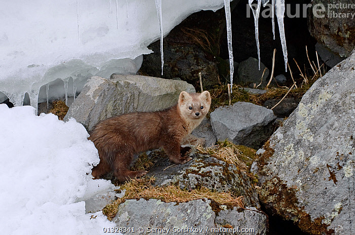 Japanese sable (Martes zibellina) foraging on rocky shore with icicles, Kamchatka, far east Russia, January, ASIA,CARNIVORES,ICE,ICICLE,LAKES,MAMMALS,MARTENS,MUSTELIDAE,MUSTELIDS,RUSSIA,VERTEBRATES, Sergey Gorshkov