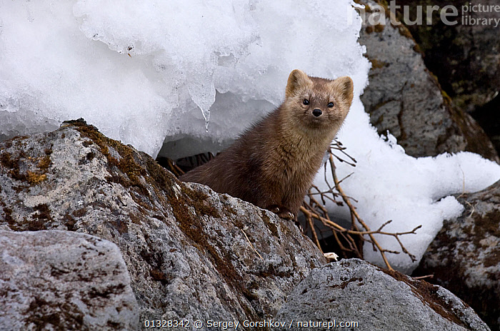 Japanese sable (Martes zibellina) foraging on rocky shore with snow, Kamchatka, far east Russia, January, ASIA,CARNIVORES,LAKES,MAMMALS,MARTENS,MUSTELIDAE,MUSTELIDS,RUSSIA,SNOW,VERTEBRATES, Sergey Gorshkov