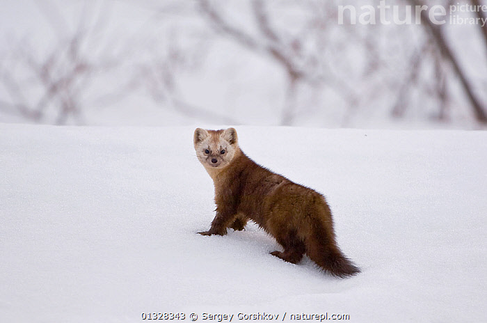 Japanese sable (Martes zibellina) foraging on snow, Kamchatka, far east Russia, May, ASIA,CARNIVORES,CUTE,MAMMALS,MARTENS,MUSTELIDAE,MUSTELIDS,PORTRAITS,RUSSIA,SNOW,VERTEBRATES, Sergey Gorshkov