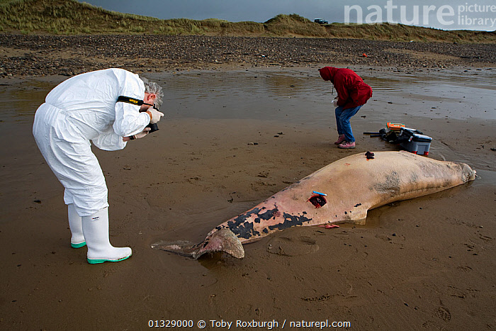 Scientists from the Welsh Marine Environmental Monitoring team photographing the carcass of Sowerby's Beaked Whale (Mesoplodon bidens) washed up on beach near Porthcawl to try to determine the cause of death, South Wales, October 2009. Model released.  ,  BEACHED,BEACHES,BRIDGEND,CETACEANS,CLOTHING,COASTS,DEATH,EUROPE,MAMMALS,MAN,MARINE,PEOPLE,PHOTOGRAPHY,RESEARCH,SCIENCE,UK,UNIFORMS,VERTEBRATES,WALES,WHALES,ZIPHIIDAE,United Kingdom  ,  Toby Roxburgh