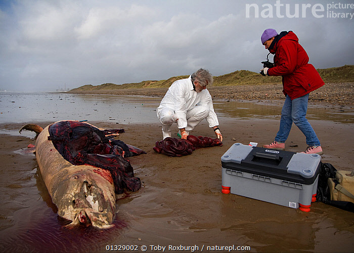 Scientists from the Welsh Marine Environmental Monitoring team dissecting the carcass of a Sowerby's Beaked Whale (Mesoplodon bidens) washed up on beach in order to determine cause of death. Near Porthcawl, South Wales, October 2009.  ,  ANIMAL PARTS,BEACHED,BEACHES,BRIDGEND,CETACEANS,COASTS,DEATH,DISSECTION,EUROPE,MAMMALS,MAN,MARINE,PEOPLE,PHOTOGRAPHY,RESEARCH,SCIENCE,UK,VERTEBRATES,WALES,WHALES,WOMAN,ZIPHIIDAE,United Kingdom  ,  Toby Roxburgh
